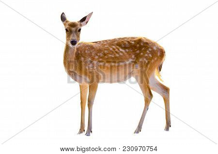 Baby Deer Isolated In White Background Reindeer