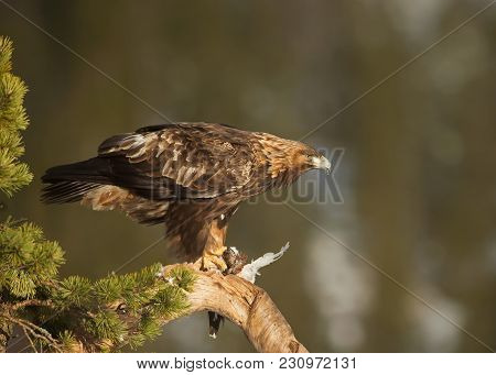 Golden Eagle Perched On Tree With It's Kill
