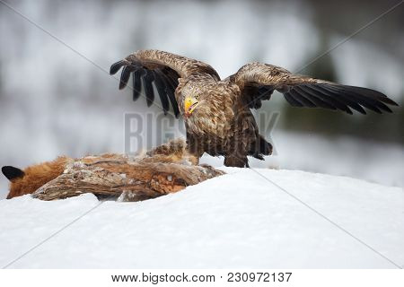 White-tailed Eagle Adult Feeding On A Red Fox High In The Mountains In Norway.