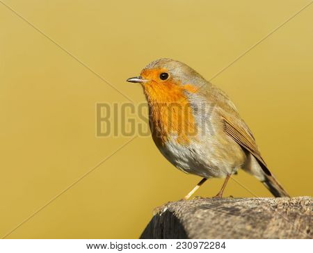 Garden Bird European Robin (erithacus Rubecula) Perching On A Post, England.