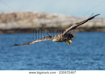 Close Up Of A White-tailed Sea Eagle In Flight, Norway.