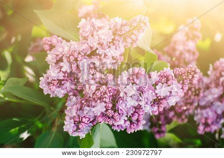 Branch Of Lilac Flowers With The Leaves And Sunshine, Natural Seasonal Spring Background