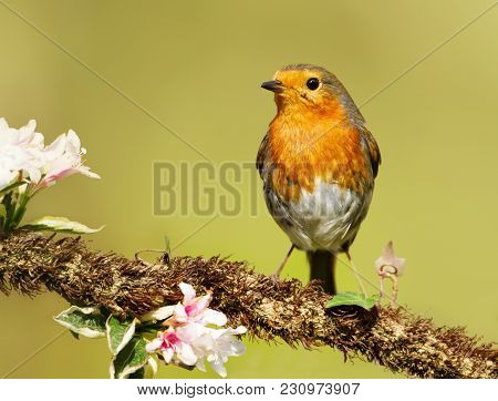 European Robin Perching On A Tree Branch With Blossoms In Spring, Uk.