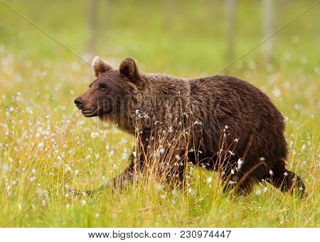 Close Up Of A Male Brown Bear Walking In A Swamp, Finland.