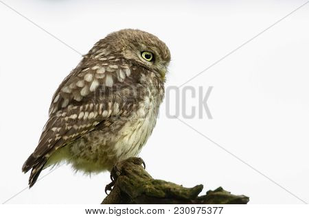 Close-up Of A Little Owl Perching On A Log Against White Background, Uk.
