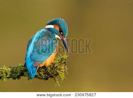 Close Up Of Common Kingfisher Perching On A Mossy Branch On A Sunny Day, Uk.