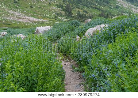 Trail Cuts Through Green Mertensia Wildflowers In Cascade Canyon