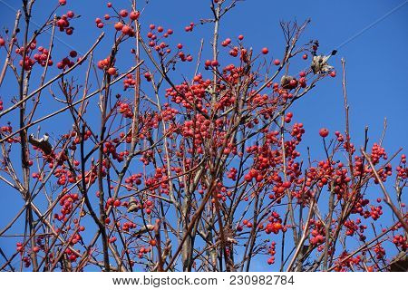 Bare Branches Of Whitebeam With Red Berries Against Blue Sky