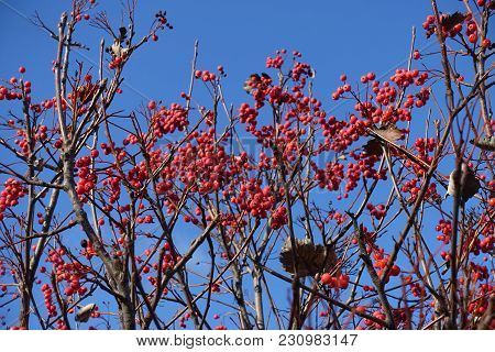 Leafless Branches Of Whitebeam With Red Berries Against Blue Sky