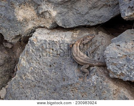 The Lizard Basks On The Stone. Photo Taken In Tenerife.