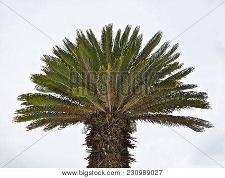 Palm Tree With Large Trunk On White Background