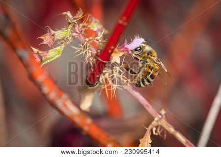 Honey Bee Looking For Nectar In Autumn