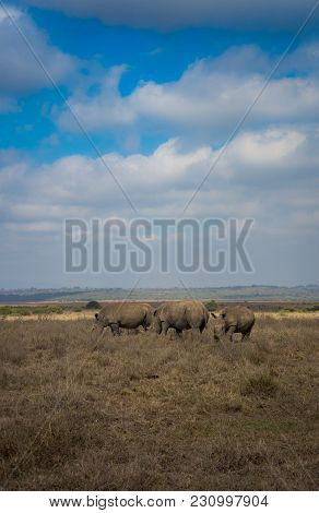 Southern White Rhinoceros In Nairobi National Park In Kenya