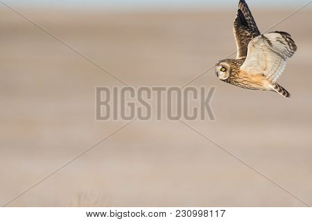 Short-eared Owl In Flight Over A Meadow In Winter