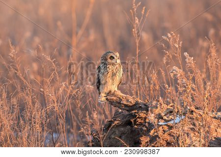 Short Eared Owl Perched Near The Ground