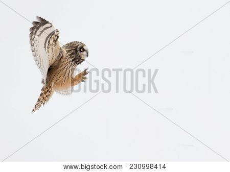 Short-eared Owl In Flight Showing Its Talons On White Background