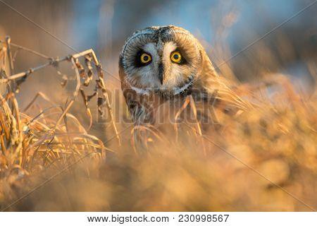 Short-eared Owl In Weeds