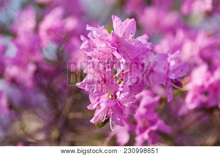 Aerial View Pink Red Lilac Rhododendron Blossoms White Lace Background Closeup Beautiful Evergreen R