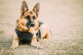 Brown German Sheepdog Alsatian Wolf Dog Wearing In Special Training Clothes Sitting On Ground poster
