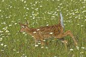 White tail deer fawn in a field of spring flowers poster