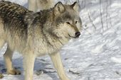 Gray wolf in snow. Photographed in Northern Minnesota poster