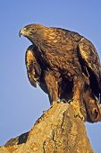 Golden eagle on rock pinnacle. Photographed in Colorado poster