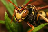 A wasp stares straight into the camera. poster