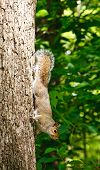 A grey squirrel climbing in an oak tree in the forest poster