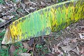 Symptoms of the fungal disease black leaf streak (BLSD) or Sigatoka caused by Pseudocercospora (synonym Mycosphaerella) fijiensis on a leaf of the banana cultivar Cavendish on an organic farm in Ecuador poster