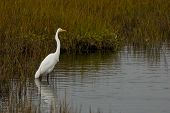 An egret in the wetlands of southern california poster