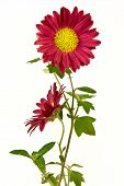 Pair of uncultivated chrysanthemum isolated on the white poster