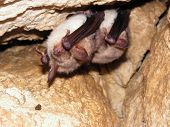 Two bats hibernating in cave during winter poster