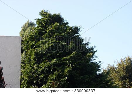 This Is An Image Of A Large Juniper Bush Growing In Carmel, California For Over Thirty Years.