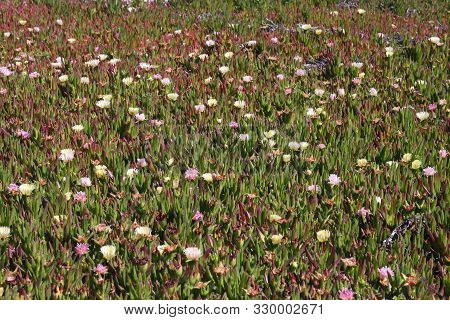 This Is An Image Of Ice Plant Flowering In Pacific Grove, California.
