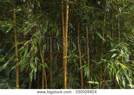 Bamboo Forest. Bamboo Plant. Bamboo Trees In Wood . Nature Background