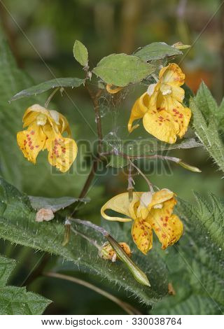 Orange Balsam - Impatiens Capensis  Orange Or Spotted Jewelweed, Touch-me-not  Native Of North Ameri