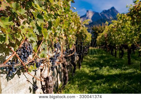 Close Up Of Very Ripe Pinot Noir Grapes In A Small Vineyard In The Mountains In Switzerland