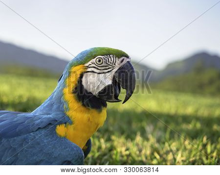 Side View And Close Up Beautiful Pet Parrot Blue And Gold Macaw (ara Ararauna) Is Allowed To Walk Fr