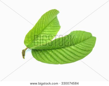 Guava Leaf. Green Guava Leaf Isolated On White Background. Guava Leaf Images. Fresh Guava Leaf.