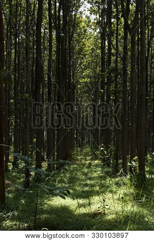 Teak Forests To The Environment .forest Teak Tree Agricultural In Plantation Teak Field Plant With G