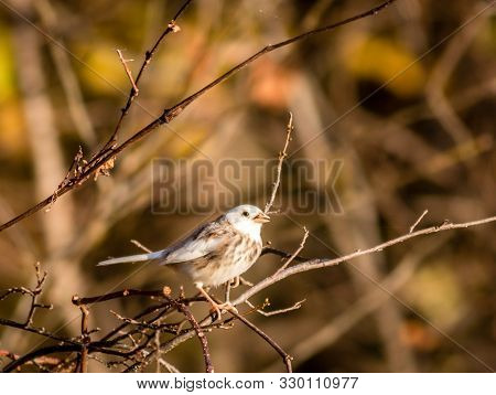 Leucistic Song Sparrow In Fall Foliage On Bright Morning