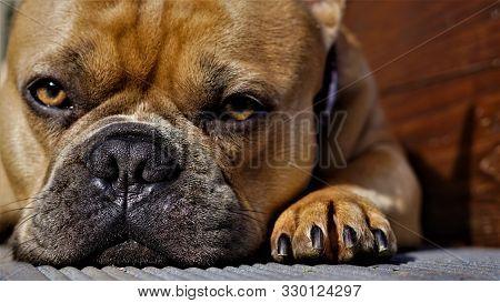 Muzzle Dogs French Bulldog Close-up. Portrait Family Pet.