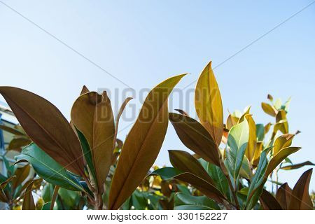Large Leaves Lit By The Midday Sun Against A Clear Blue Sky.