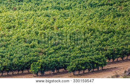 Grape Crops Dedicated To The Elaboration Of The Famous Rioja Wine, Haro, Spain.