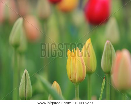 Beautiful tulips close-up