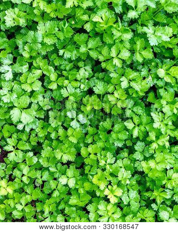 A Bed Of Flat Parsley Growing In A Field Neat Hoi An Vietnam