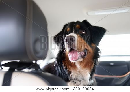 Purebred Dog Breed Sennenhund Rides In The Car. Transportation Of Large Animals. Bernese Mountain Do