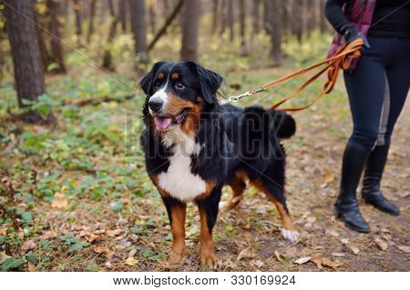 Purebred Dog Breed Sennenhund With Owner Is Walking In Forest On Autumn Day. Breeding And Maintenanc