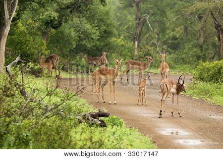 The Thomson's gazelle