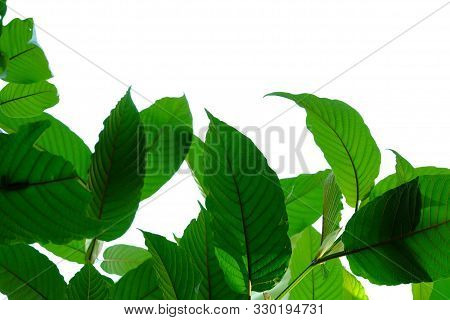 A Branch Of Kratom Leaves With Sunlight On White Isolated Background For Green Foliage Backdrop